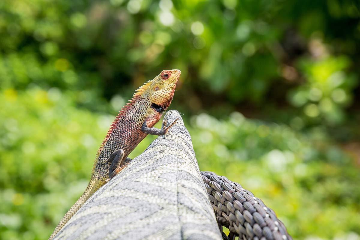 Exotische Echse im Garten des Anantara Kalutara