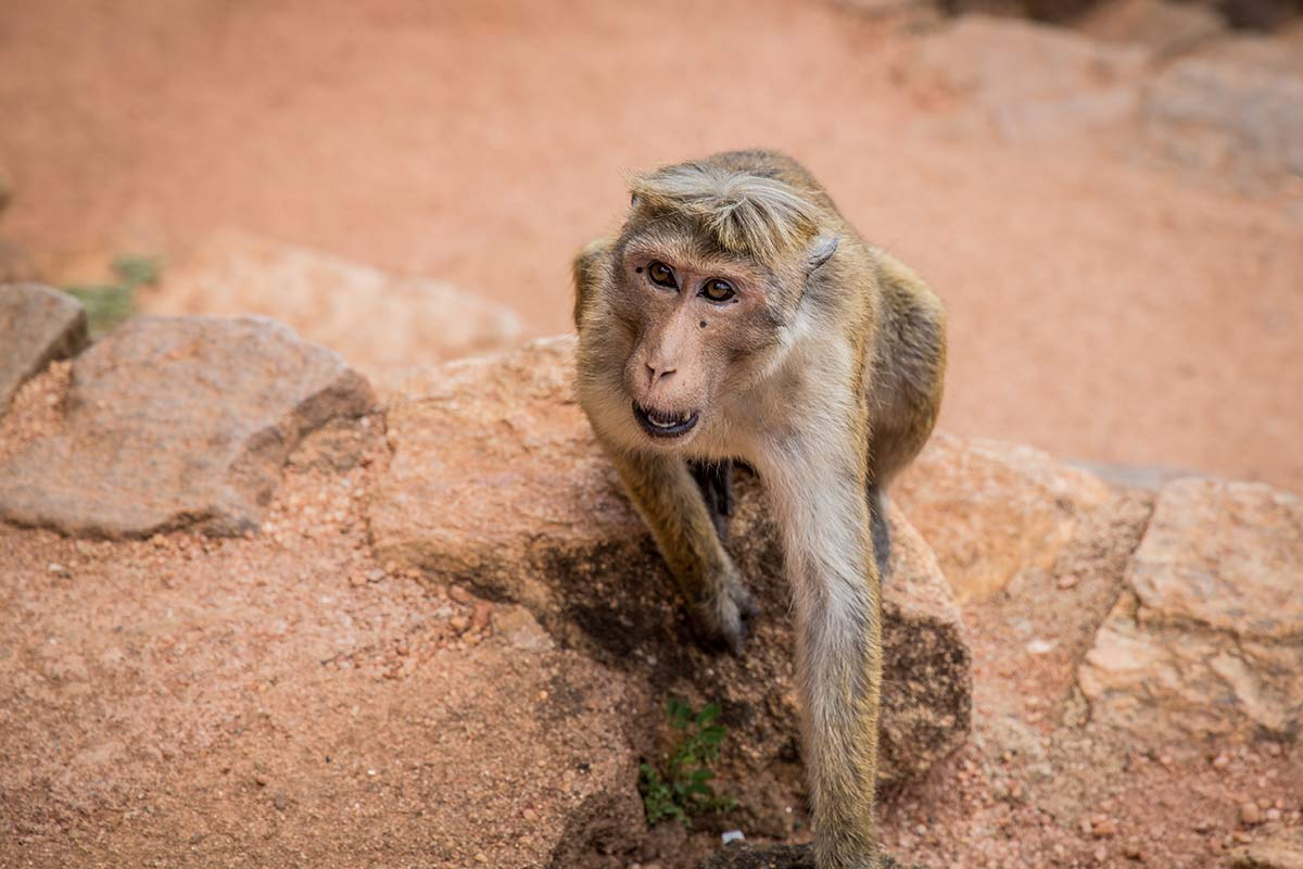 Frecher Affe auf Mount Sigiriya in Sri Lanka