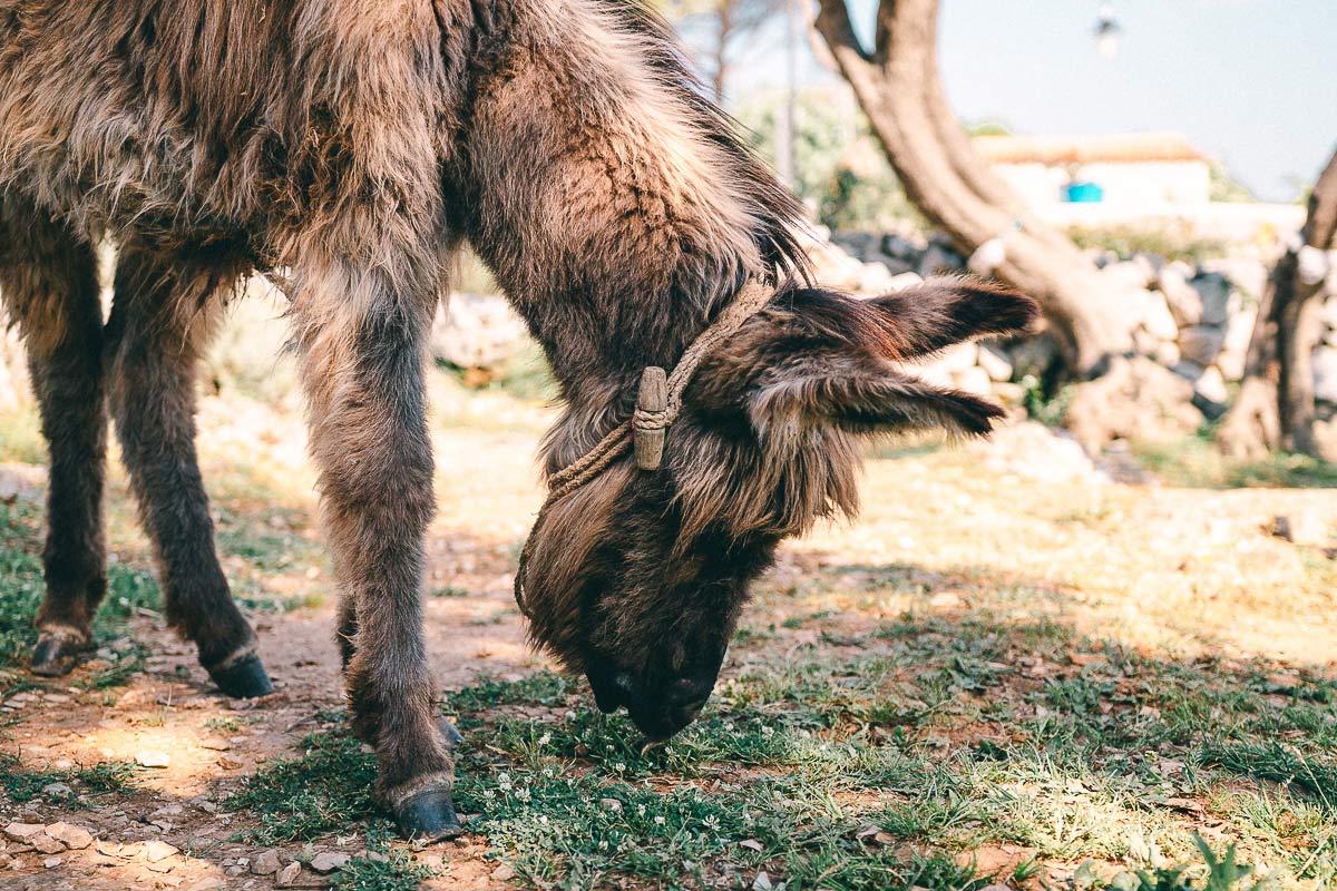 Der Esel knabbert im Kräutergarten das Unkraut weg