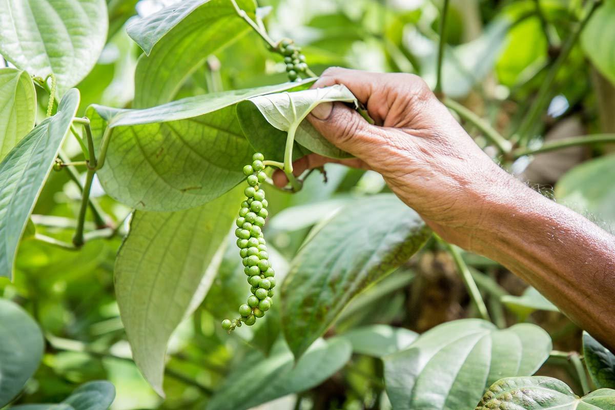 Pfefferpflanze Sri Lanka