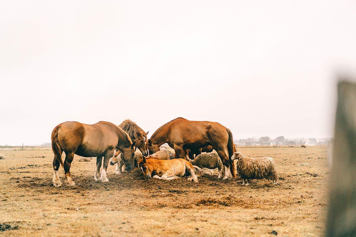 Bretonische Pferde