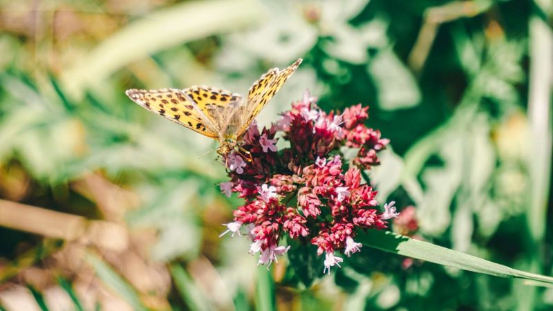 Schmetterling Wiese Wanderung zum Staffelberg