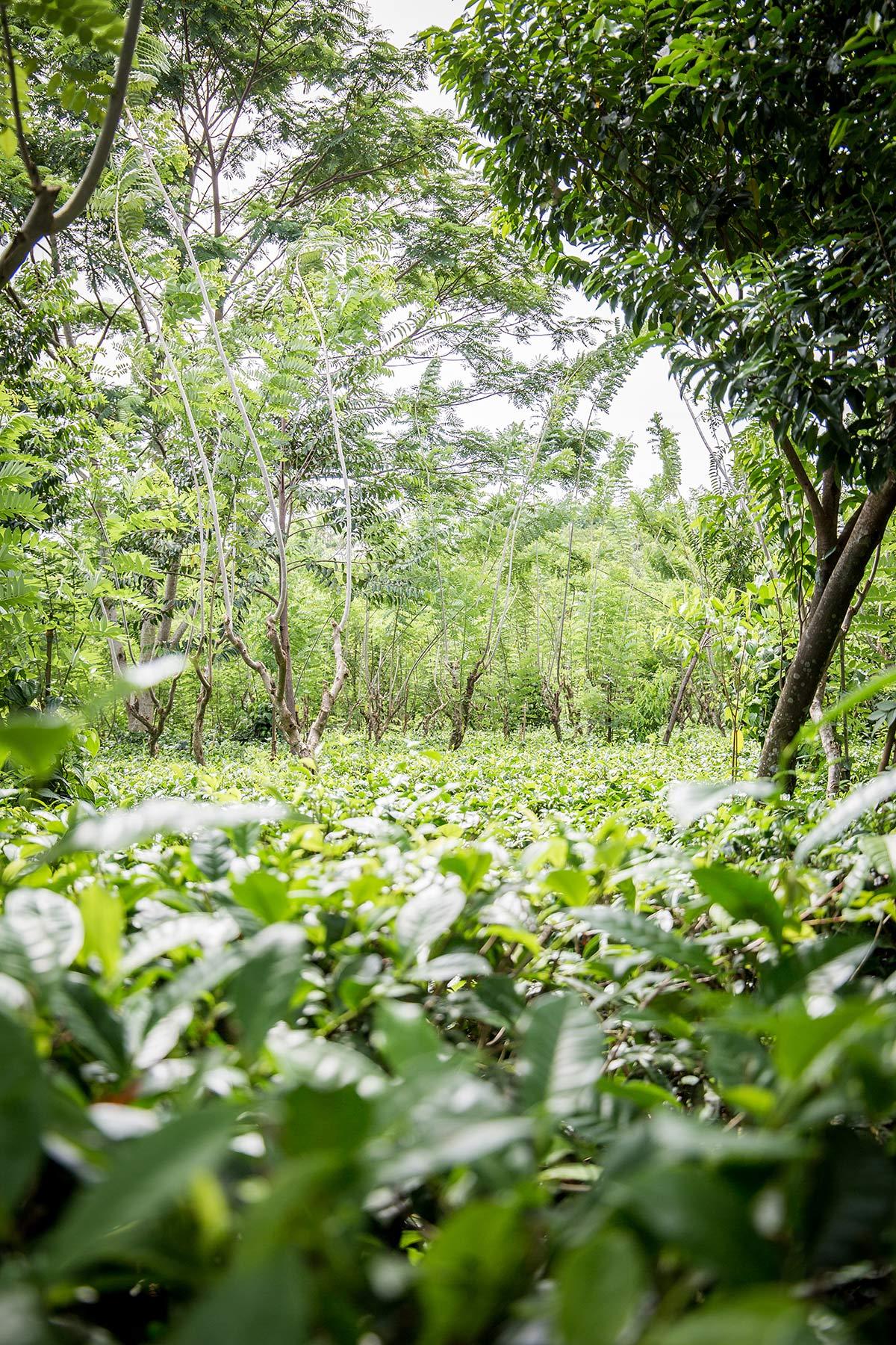 Teeplantage Handunugoda Tea Estate