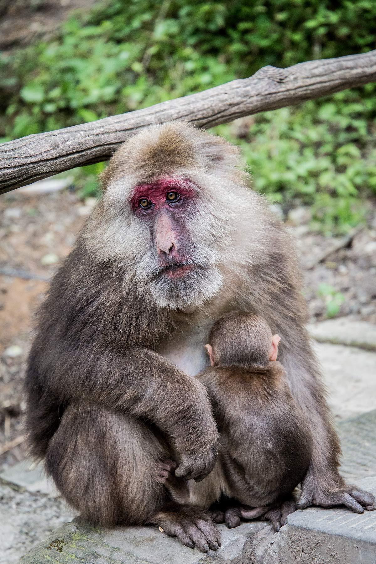 Tibetmakaken auf dem Weg zum Mount Emei in China