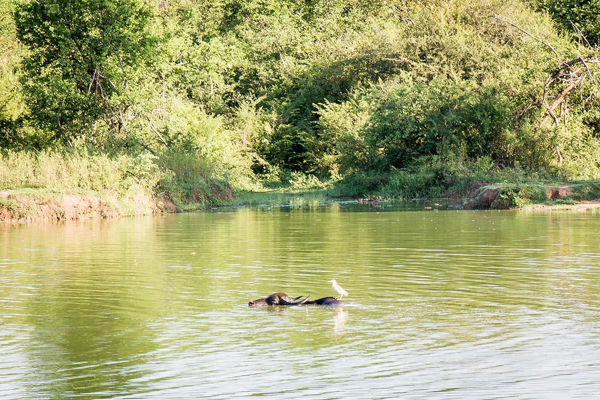 Wasserbueffel im Udawalawe National Park