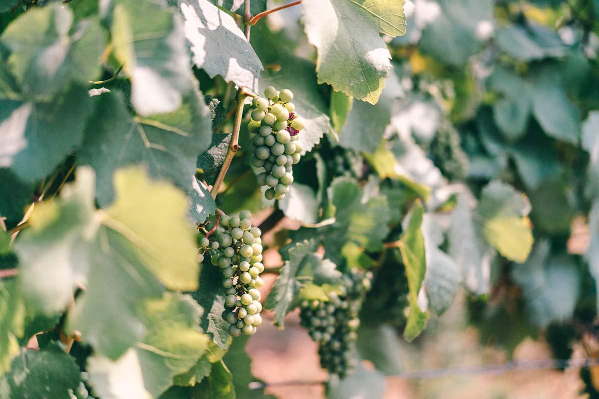 Wein von Torgny