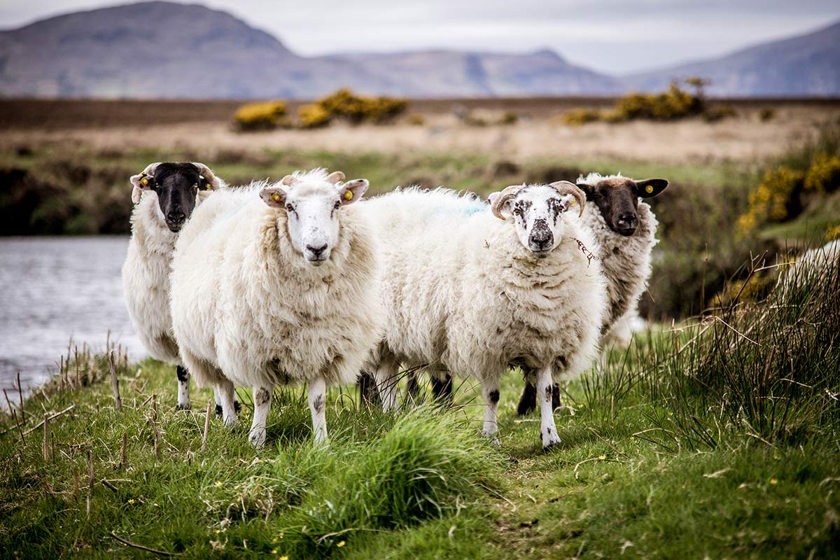 Irland Donegal Owenea River Schafherde