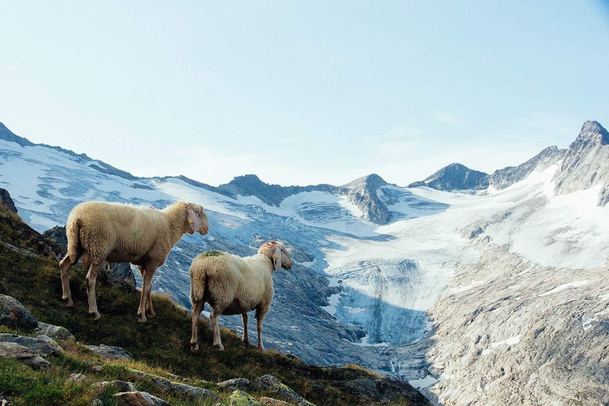 Schafe auf dem Berliner Hoehenweg