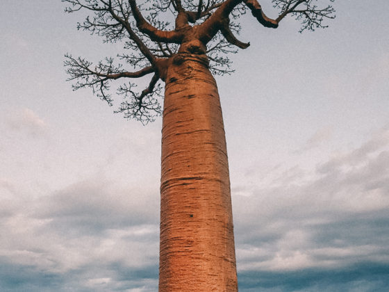 Madagaskar Affenbrotbaum Baobab