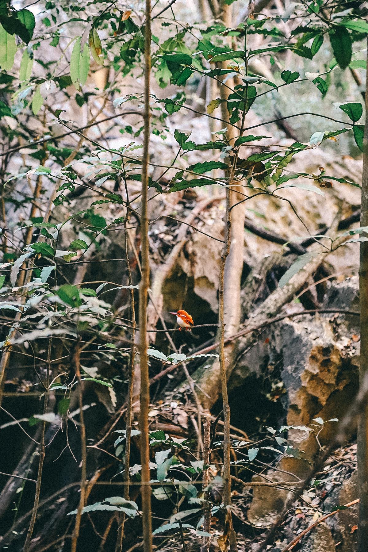 Pygmeaen Eisvogel im Regenwald