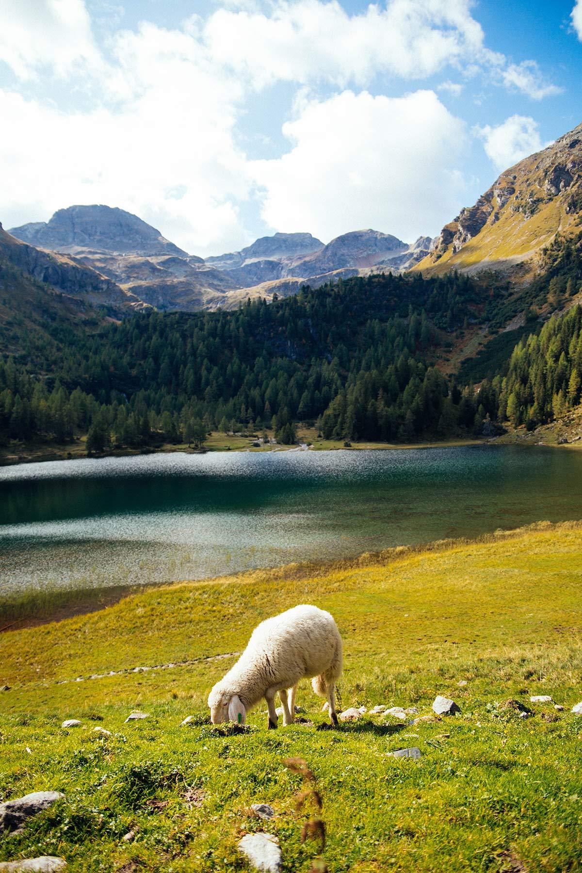 Schaf am Duisitzkarsee