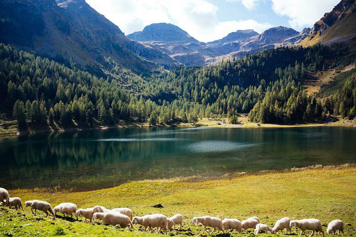 Schafe am Duisitzkarsee