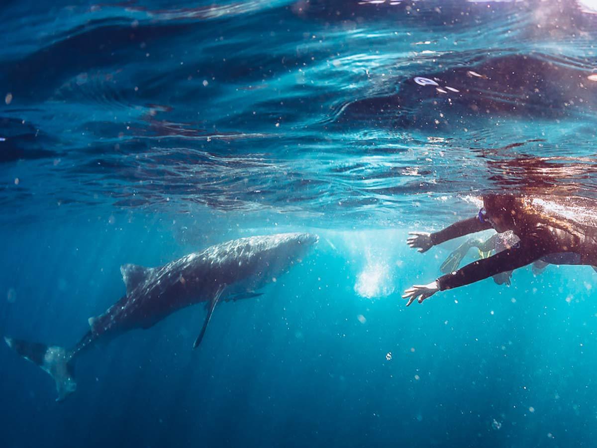 Westaustralien Walhaie schwimmen