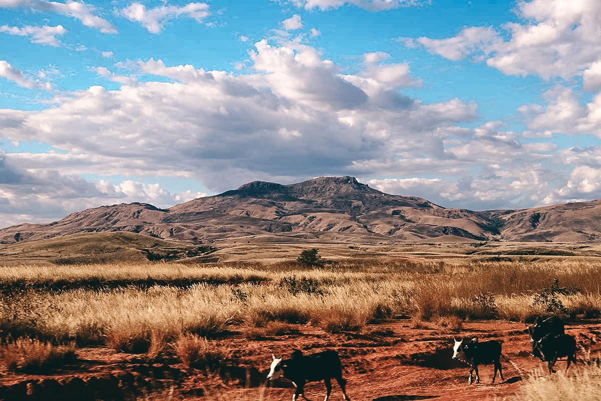 Zebus in Madagaskar