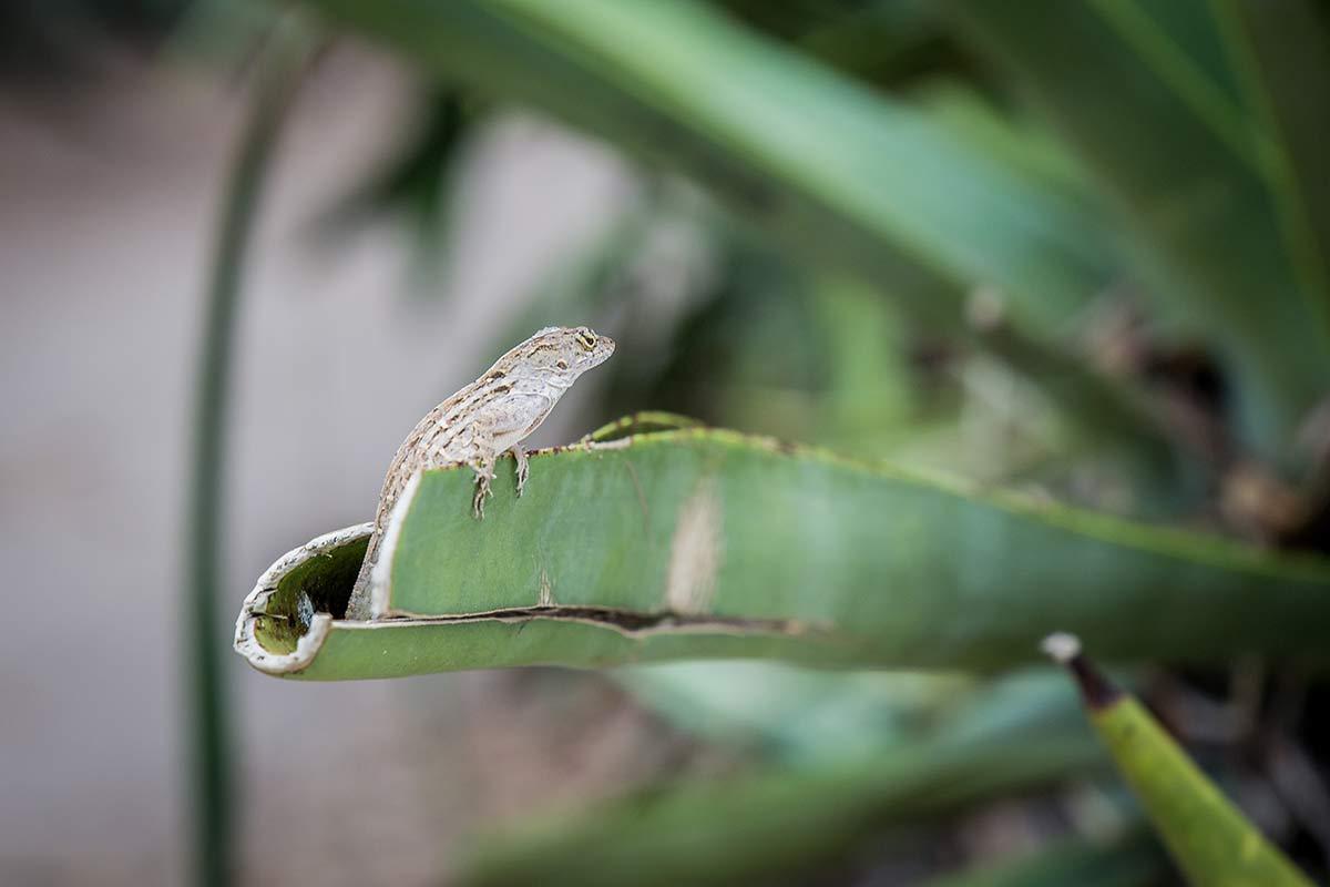Dschungelbewohner auf Cabbage Key in Florida