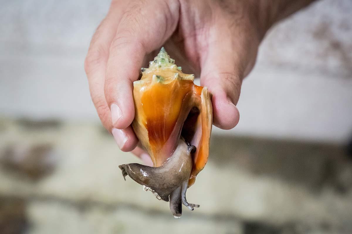 Florida Fechterschnecke im Bailey Matthews Shell Museum auf Sanibel Island