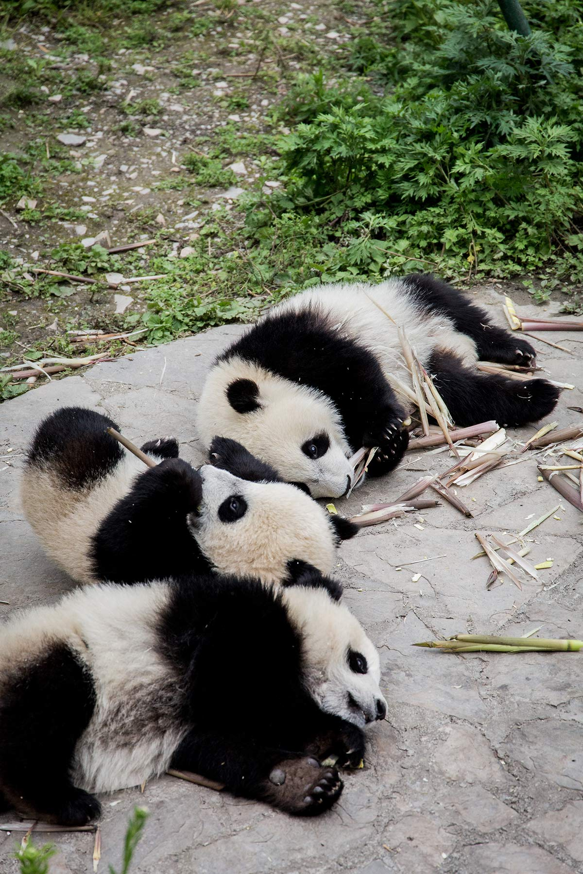 pandababies in der pandastation wolong