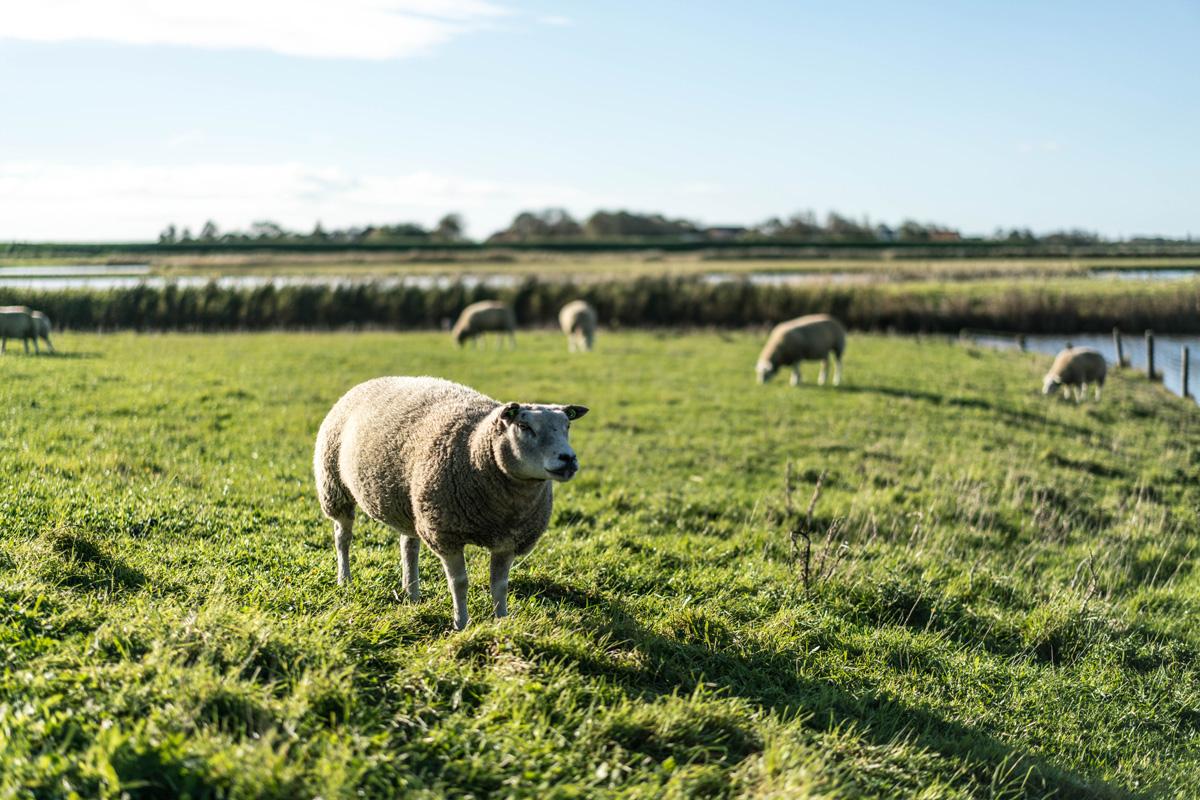 Schafe-auf-Texel