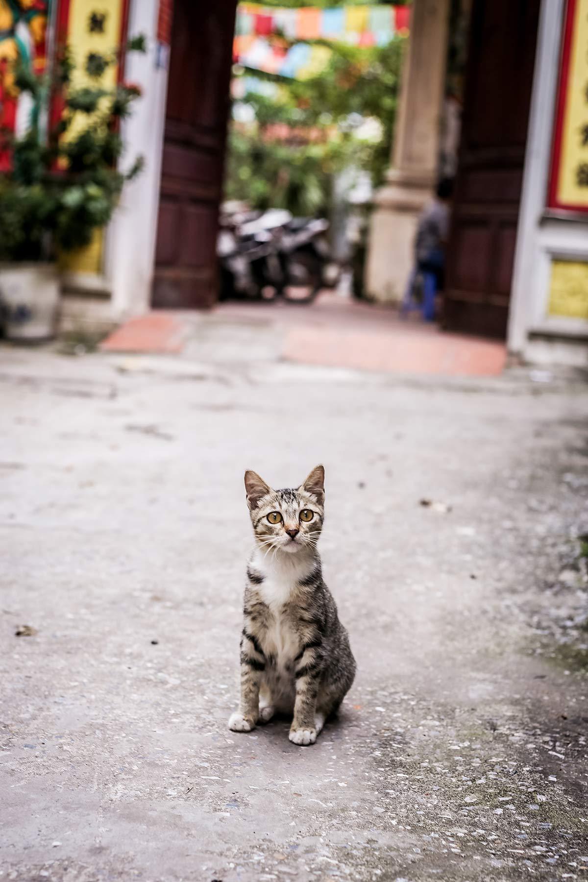 Katze vor der Chua Bat Mau Pagode in Hanoi