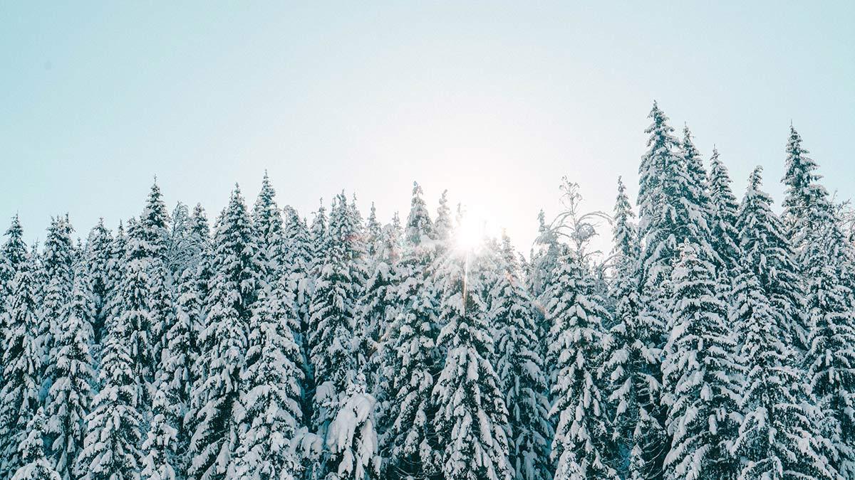 Tannen mit Schnee und Sonne