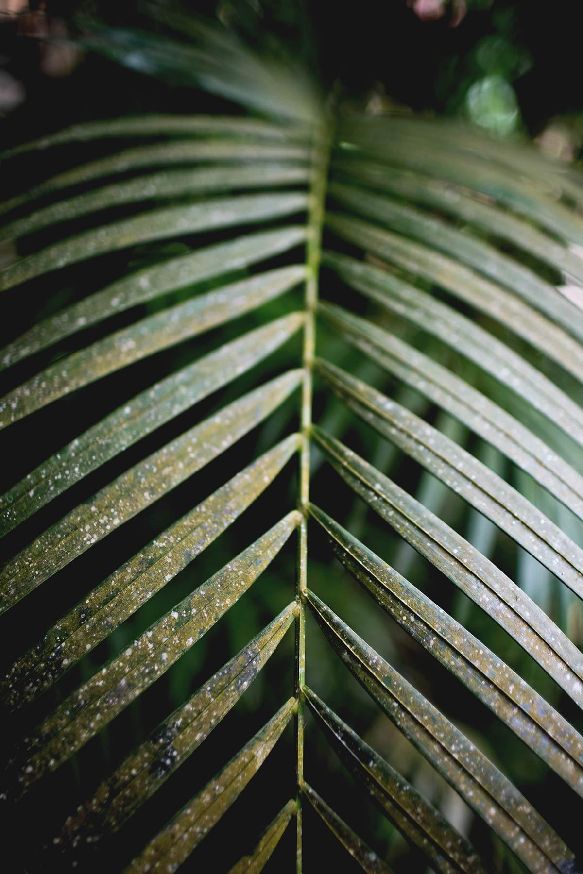 Pflanze Kakaoplantage