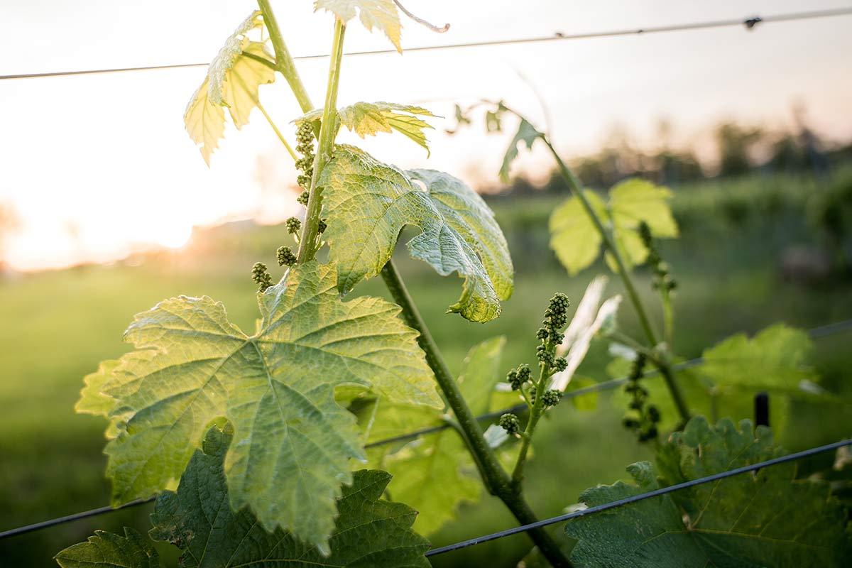 Weinstock im Sonnenuntergang