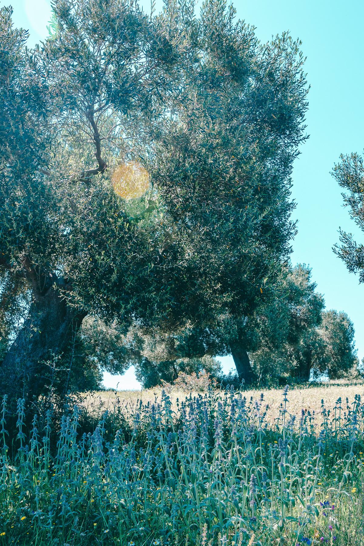 Chalkidiki Oliven