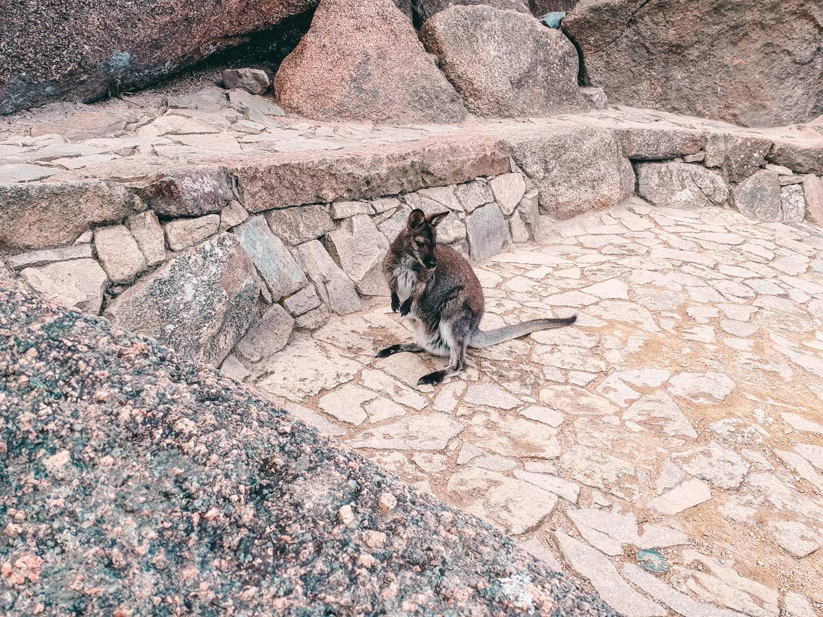Freycinet Nationalpark Kaenguru