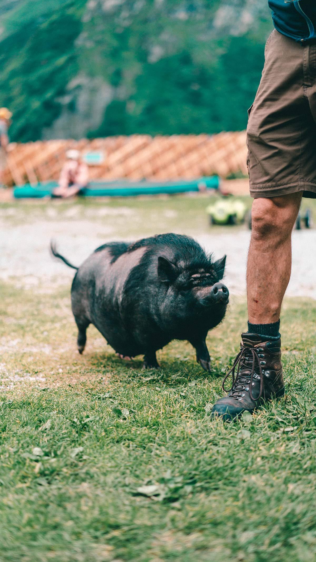 Schwein Fuerthermoaralm