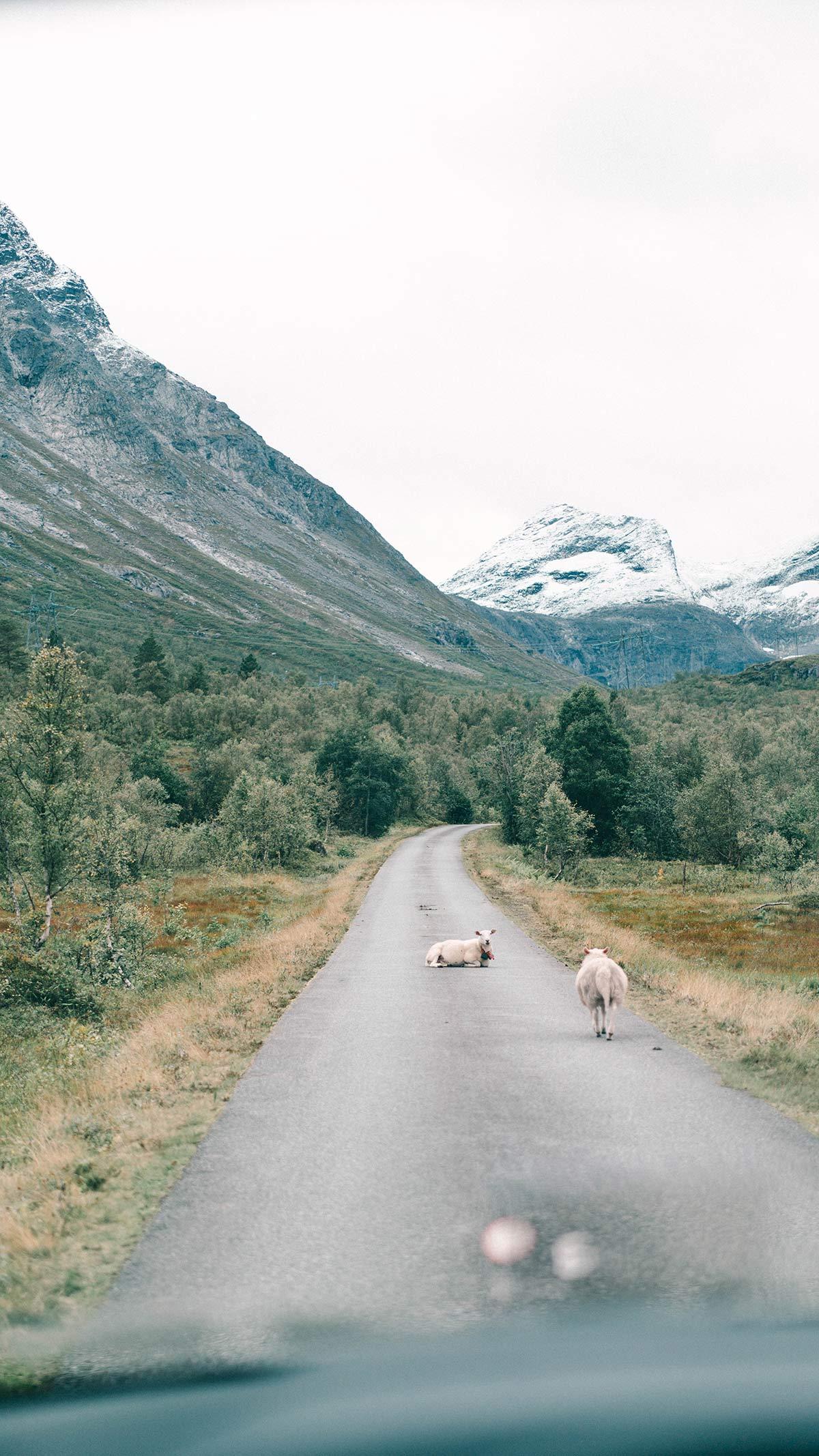 Camper Schafe auf Strasse