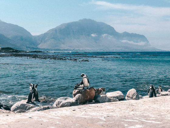 Pinguine in Betty's Bay