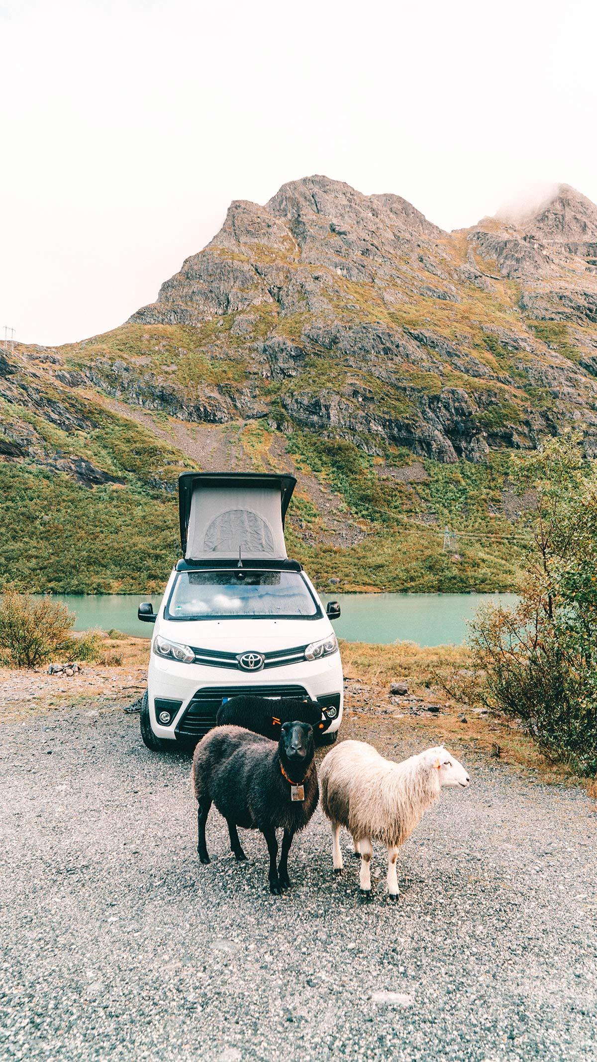 Schafe vor dem Campervan