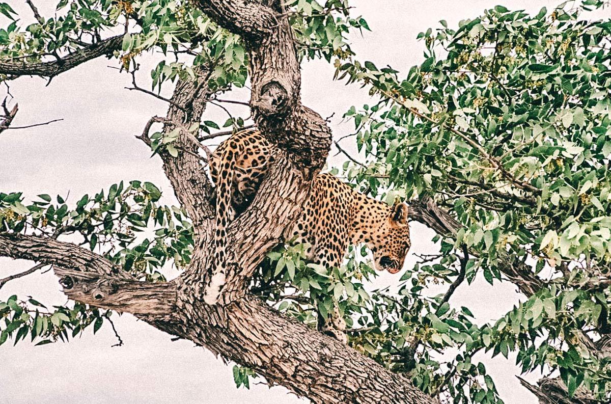 Leopard Afrika Namibia