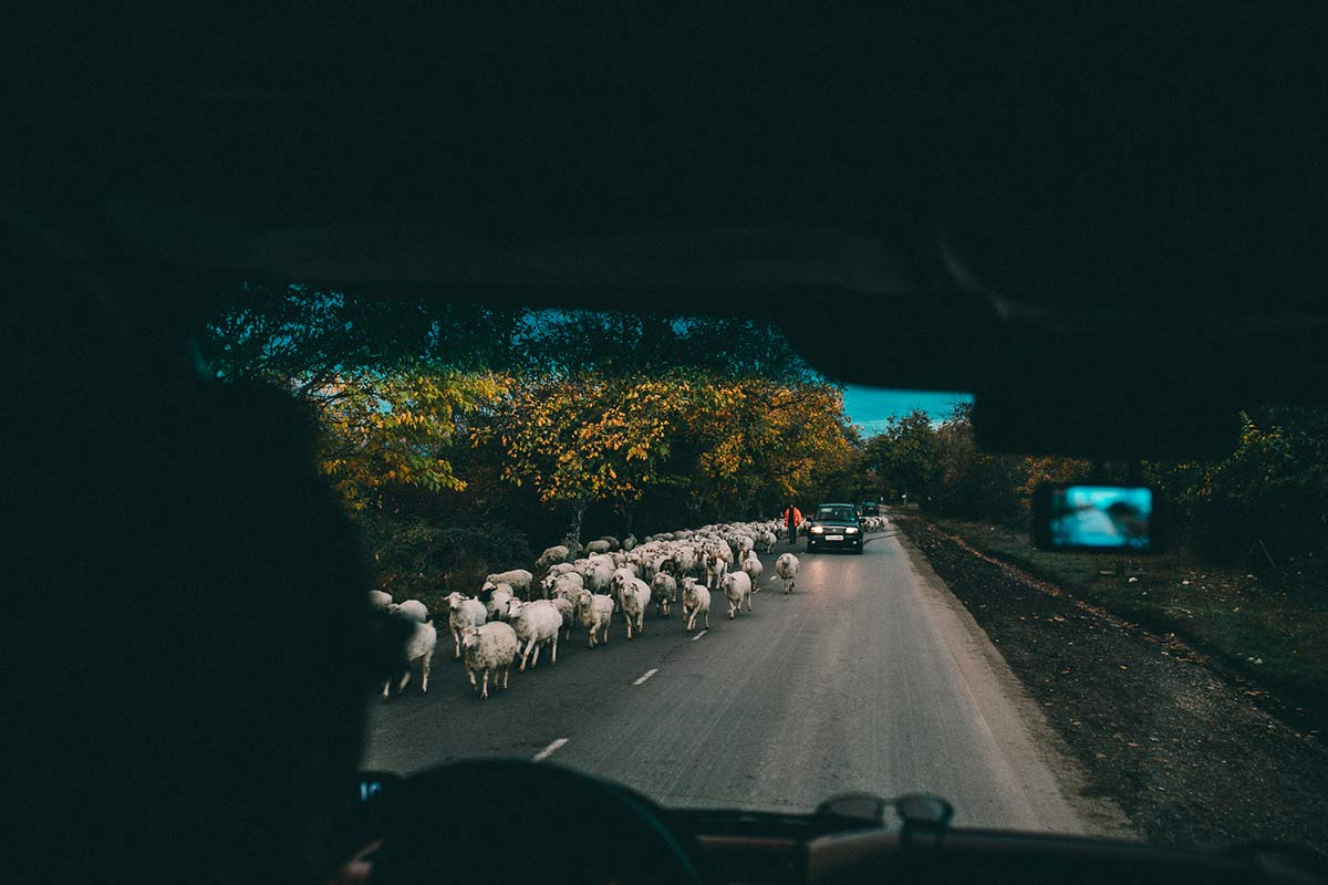 Schafe Georgien