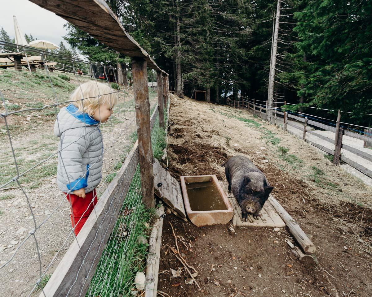 schwein bauernhofurlaub in sudtirol